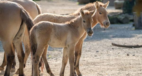 Koelner Zoo zwei Przewalskipferde