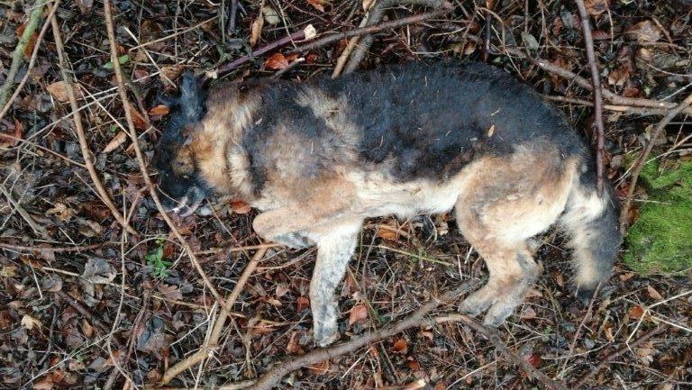 Schäferhund tod, Fund eines toten Schäferhundes, City-News.de
